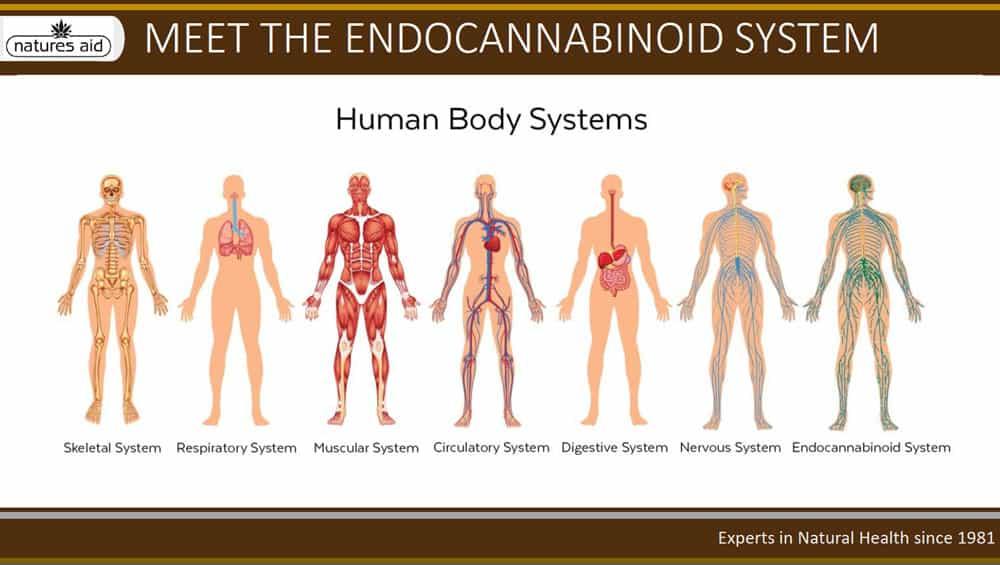 Endocannabinoid System - CBD Oil - The Ark - Haverfordwest
